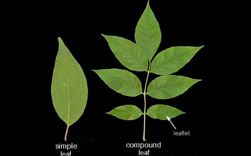Two Main Types of Leaves