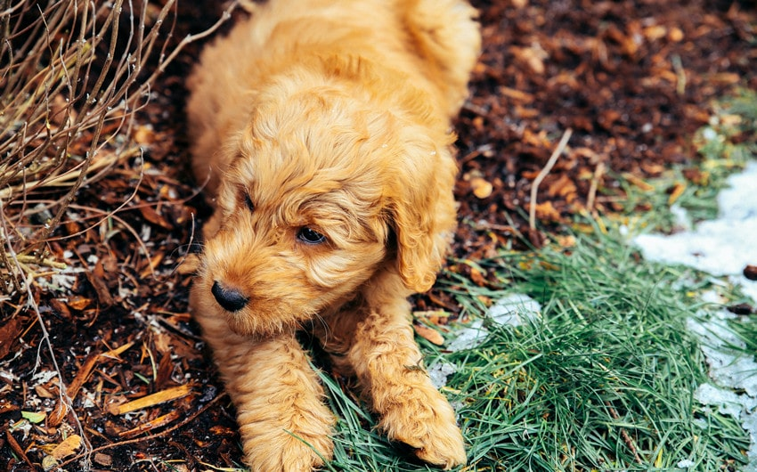 What Is a Goldendoodle Rescue