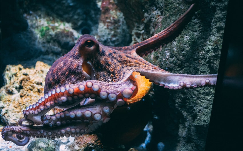 how many hearts and brains does an octopus have